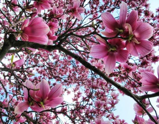 magnolia1-550x428